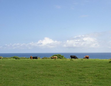 Cows like an ocean view too.
