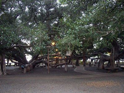 This is the biggest banyan tree on the island (to my knowledge).  It's in downtown Lahaina and takes up an entire block.