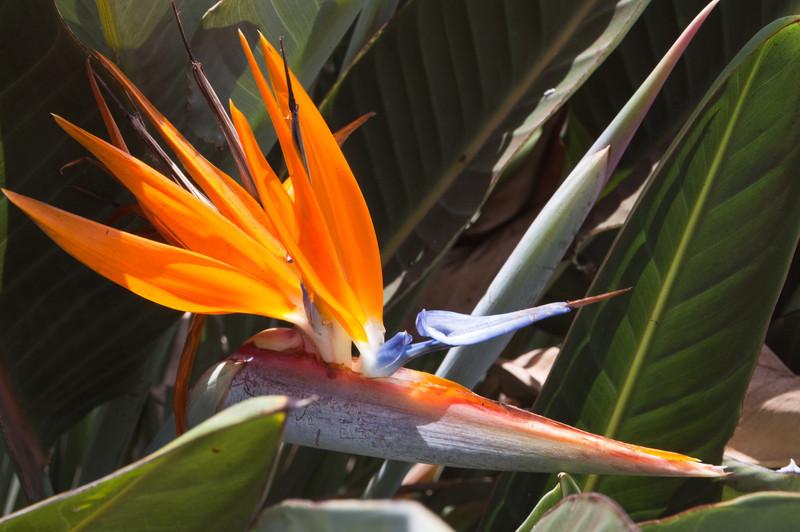 Bird of Paradise Flower, Ma'alaea