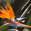 Bird of Paradise Flower, Ma'alaea