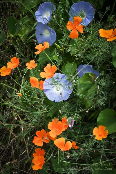 Koali Awahia & California Poppy