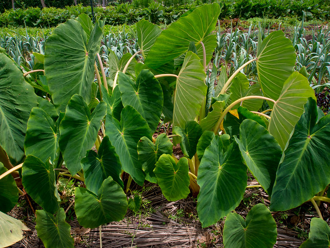 Taro plants. Want to learn organic farming? Volunteer in Hawaii on an organic farm. Find out how on Kupa'a Organic Farm in Maui.