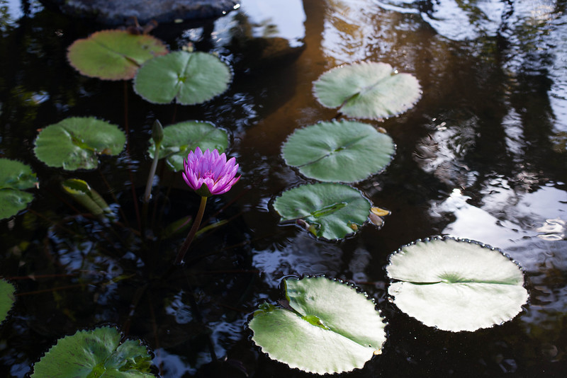 Lilies at The Westin pond.