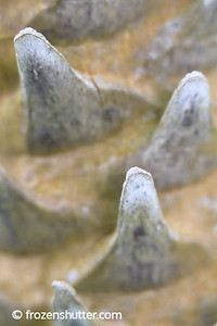 Palm Teeth