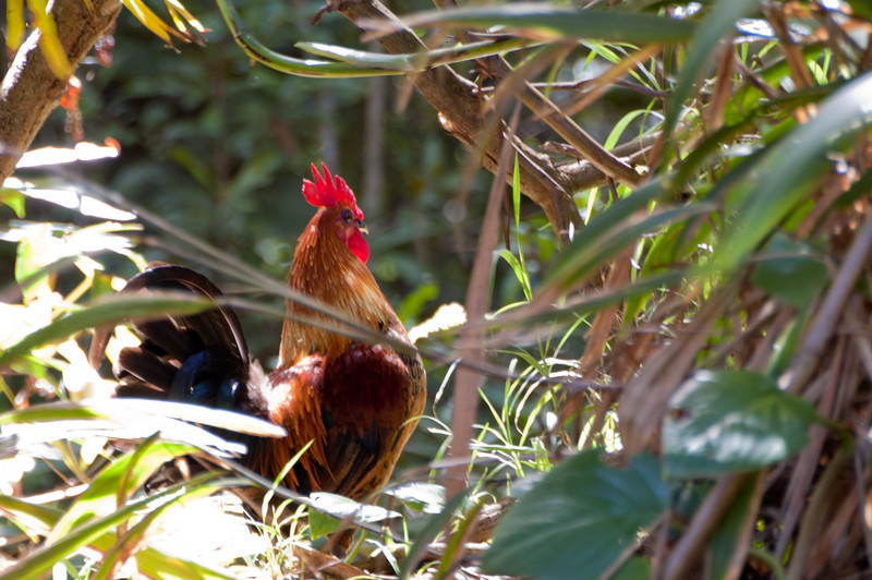 Rooster at Kaumahina State Wayside