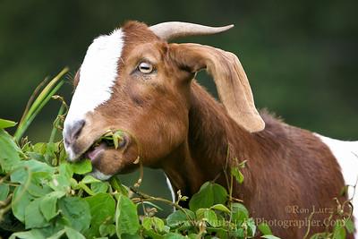 Feral Goat