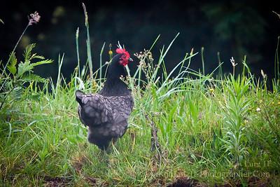 Wild Chicken