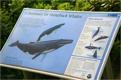 Humpback whale legend explains their movements