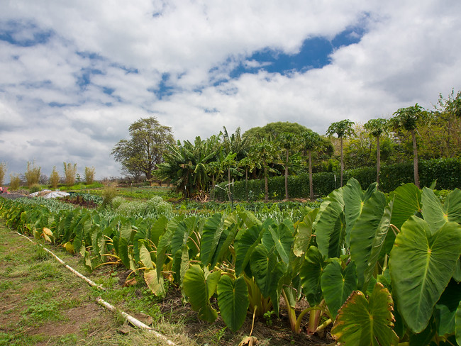 Want to learn organic farming? Volunteer in Hawaii on an organic farm. Find out how on Kupa'a Organic Farm in Maui.