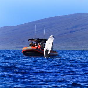 Maui Humpbacks