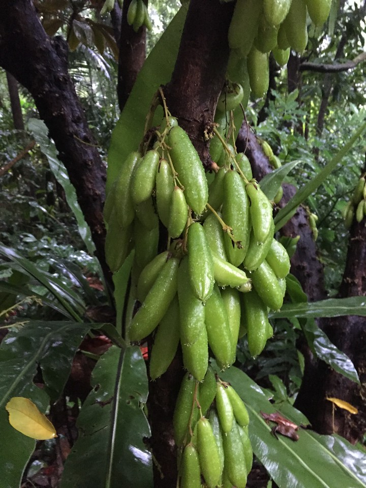 Who grows fruit off the trunk of the tree?  Bilimbi!
