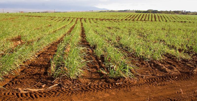 Sugar cane fields.
