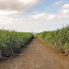 Three Weeks in Mauritius - sugar cane fields