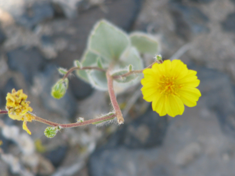 Wooly Daisy (Eriophylum wallacei)