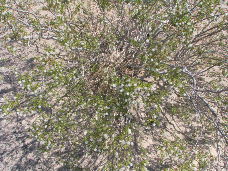Creosotebush with many exposed seed pods.