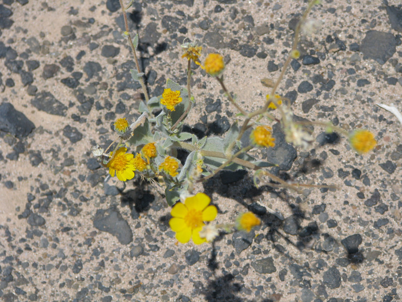 Desert Gold/Desert-Marigold-(Baileya multiradiata),<br />  flowers were very small in numbers this year.