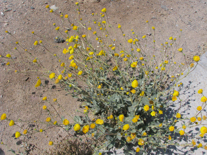 There were some flowers in bloom such as this Desert Gold.