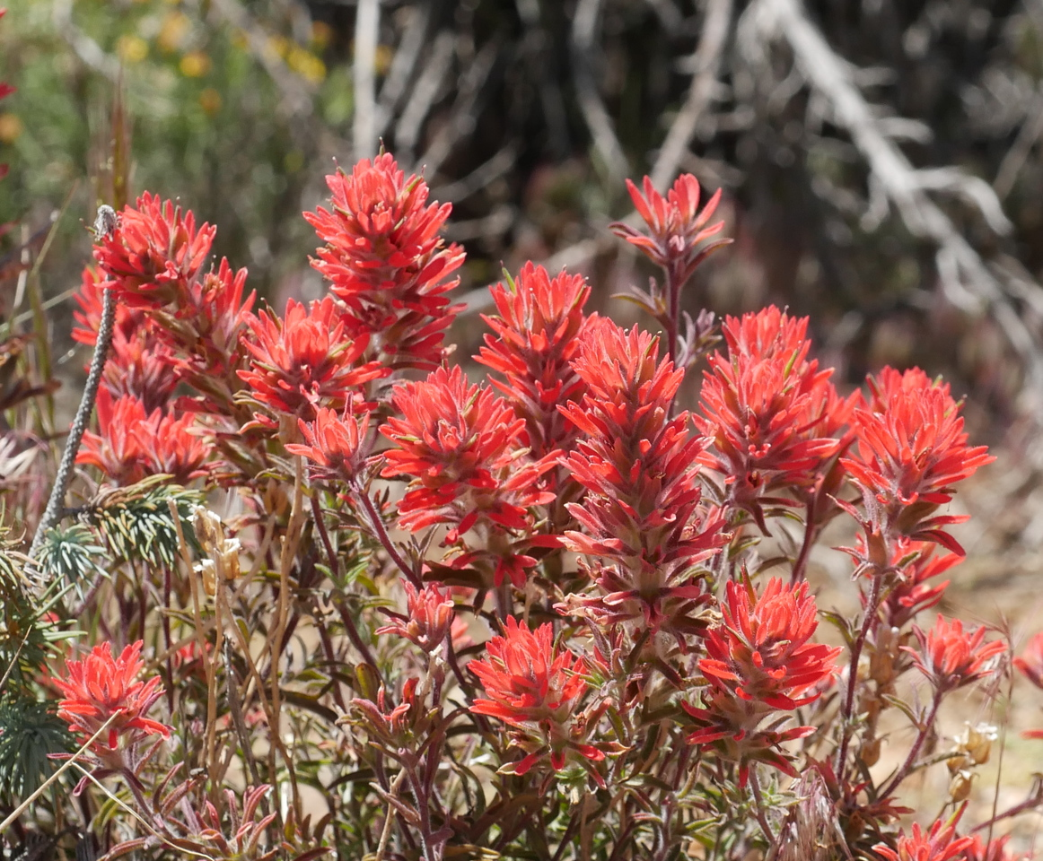 A couple of clumps of Indian paintbrush provided a different red color.