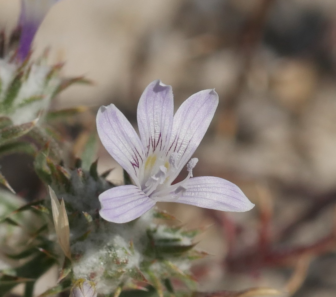 A few feet away, we found another new discovery: a tiny eriastrum.