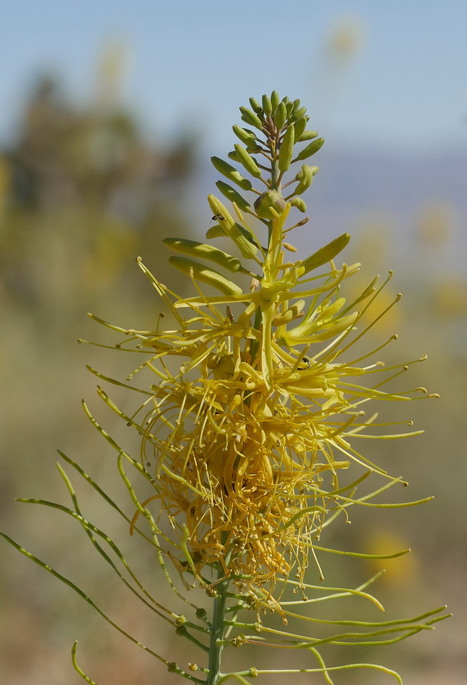 As we headed uphill into the mountains, we saw 5-6 feet tall plants with yellow plumes.  A new species for us.  We pulled off the highway onto a side road near an electrical substation and a cement plant.  Of course, we started photographing the  plumed plant.