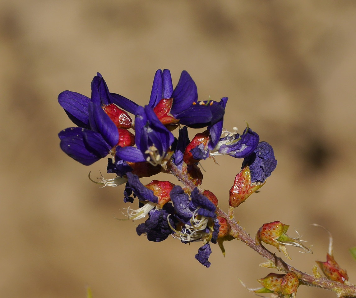 Across the road from the bladder sage bushes, there was single indigo bush with even more intensely purple flowers.  The stamens and pistil are usually hidden until the flower  withers.