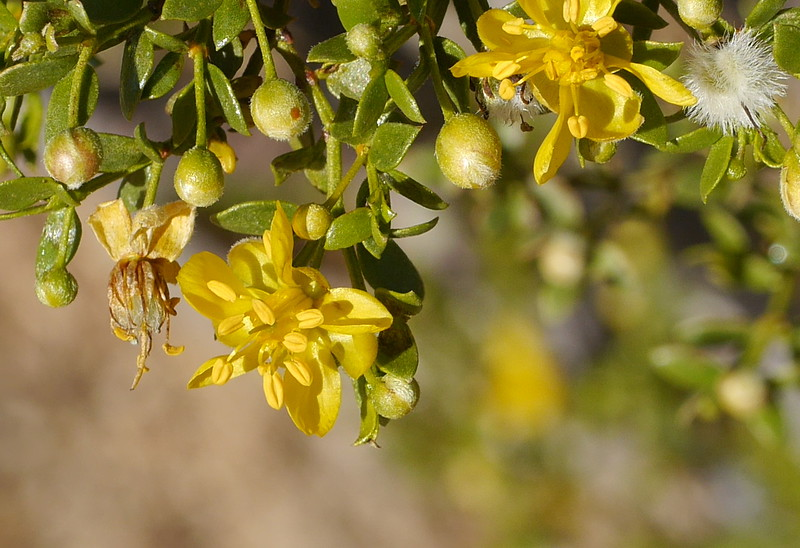 It isn't easy to get a picture of a single creosote bush flower at its peak, well separated from other flowers.  Lesley got this photo.