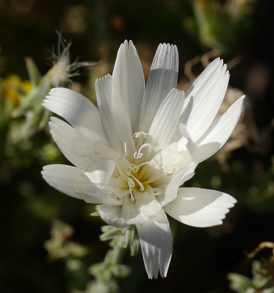 We've seen desert chicory before and we always like to see it again.