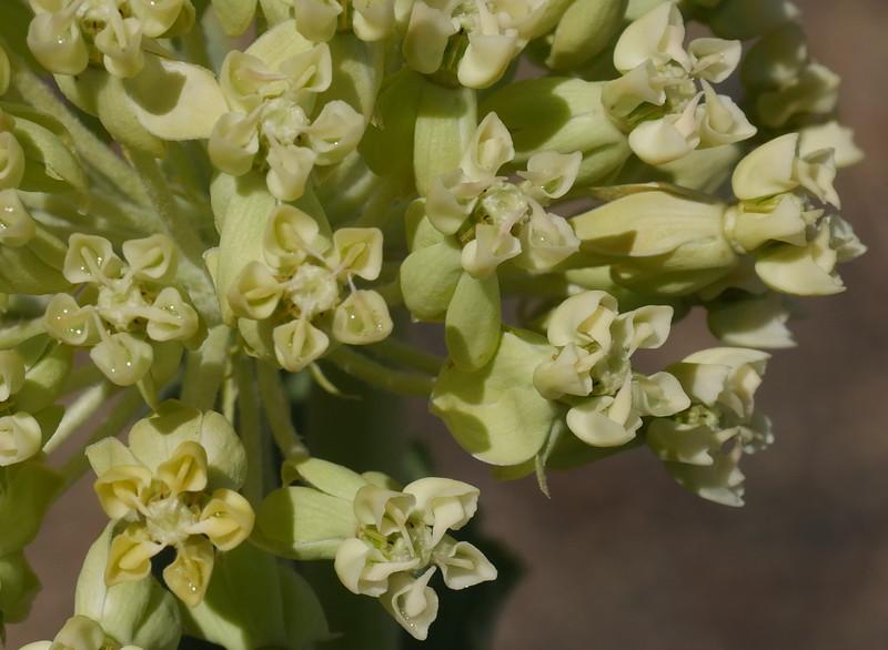 Desert milkweed_Asclepias erosa_P1110367