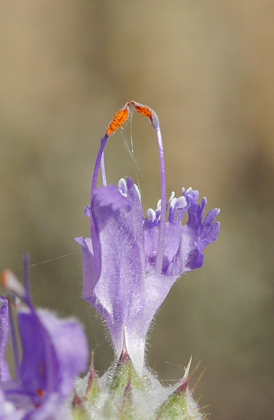 Lesley captured the contrast between the orange stamens and the soft purple petals.
