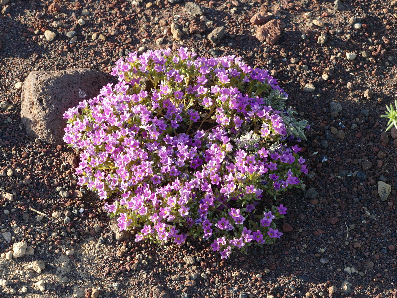 There were  2-4 foot wide clumps of these purple flowers growing on the red gravel.  I think it is in the Nama genus like purple mat but I don't know what species.