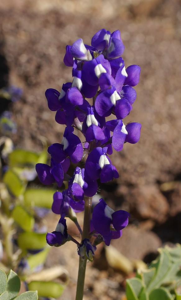 Lupine, intense purple color_P1260785