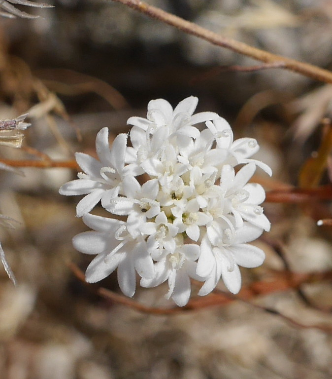 This small pincushion flower head provided our best view of the individual flowers.