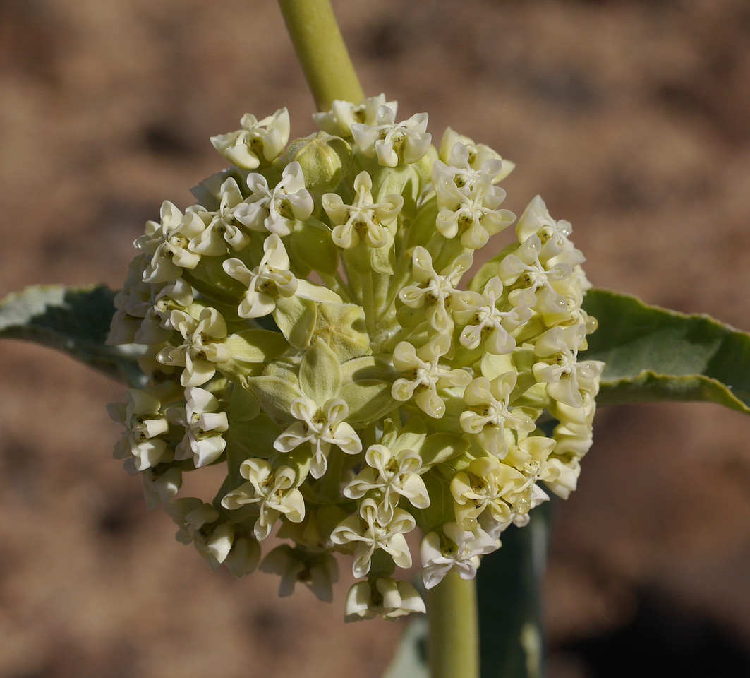 Yep, it's  a milkweed and a new species for us.