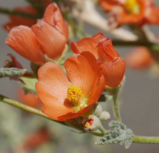 We saw apricot mallow buds and heavily munched flowers yesterday.  I was happy to see nice specimens today.