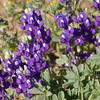 Lupine, intense purple color_P1110389