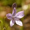 Near the purple globe lilies, we saw dozens of 4-5 foot tall Ithuriel's spear plants.  Big flowers too.