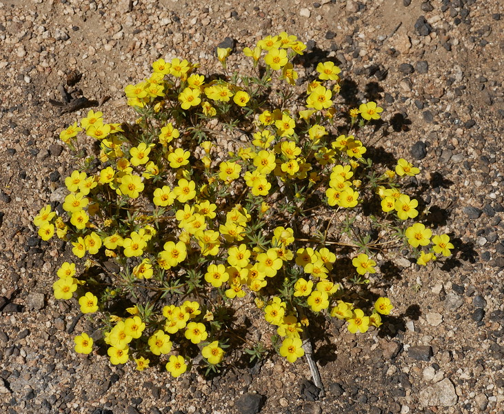 The sun cups are four petal flowers normally.  In the same area we found these five petal golden linanthus flowers.