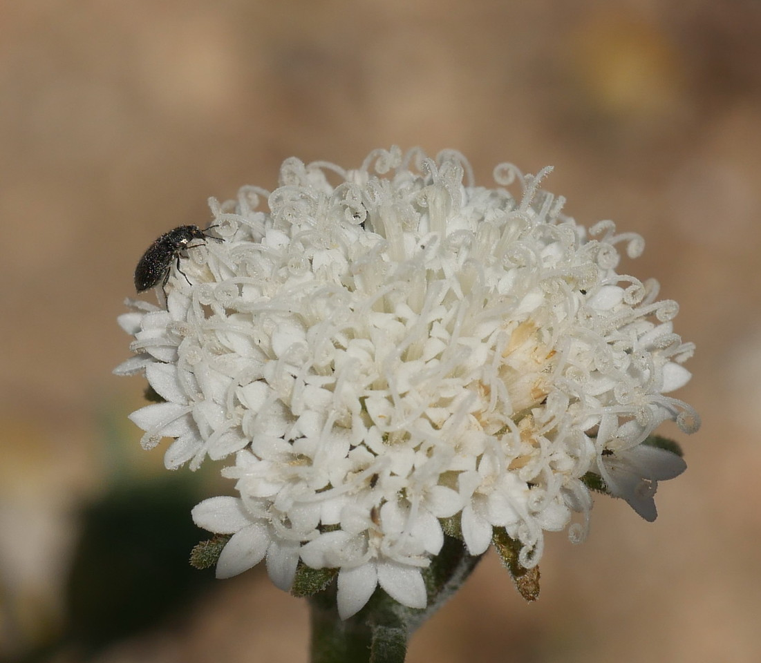 It isn't easy to capture the details of individual flowers on small but dense flowers heads.  We got some details here and an insect as a bonus.