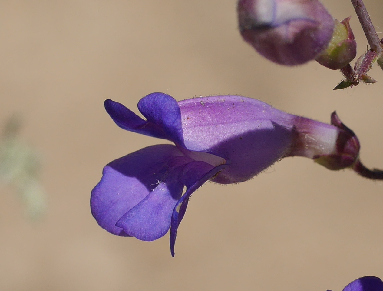 Most of the penstemon flowers were pink.  This one was at a different stage and in different light.