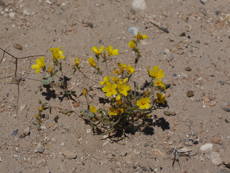 Shortly after we turned onto Fish Slough Road, we saw dozens of these yellow flowers.