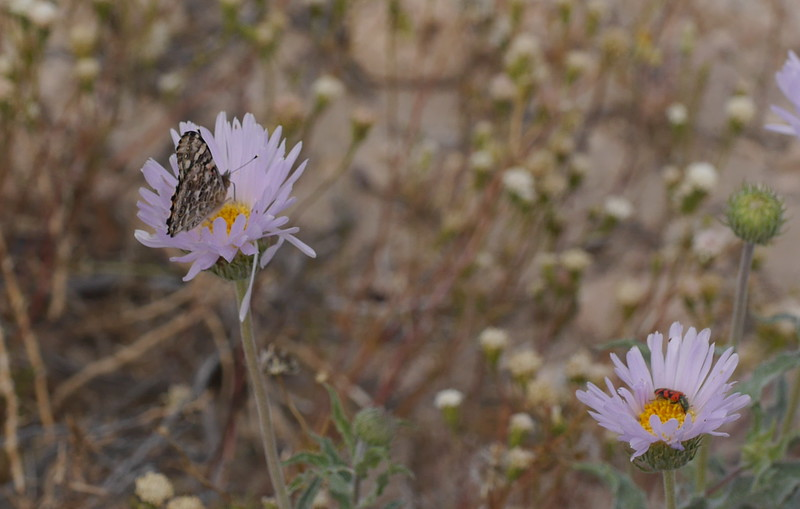 Two woodyaster flowers, two insects.