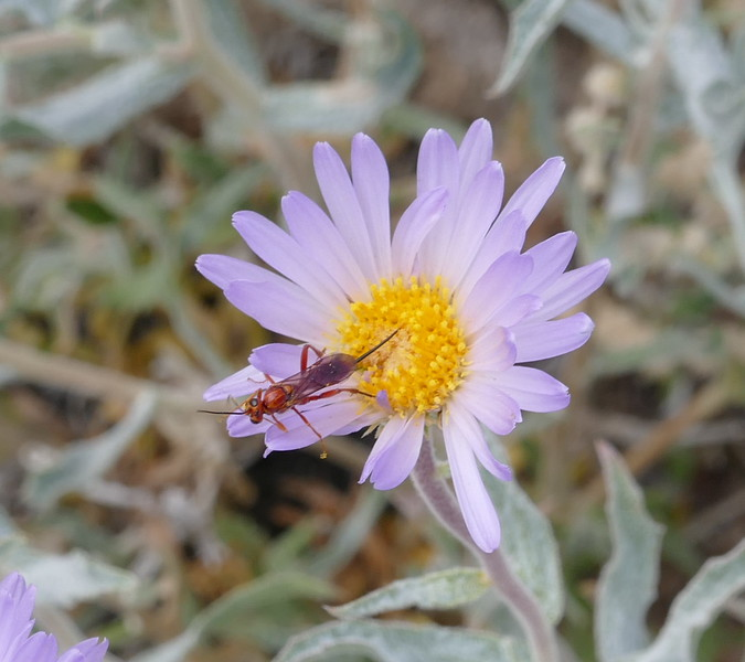 A different aster flower and a different insect.