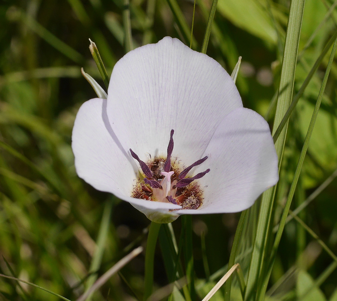 As we were about to leave the Alabama Hills, I saw some white flowers that I took to be morning glories.  A closer look made it clear that these were mariposa lilies.  A rare species we discovered later.  I stopped counting at about 50 plants in that meadow.