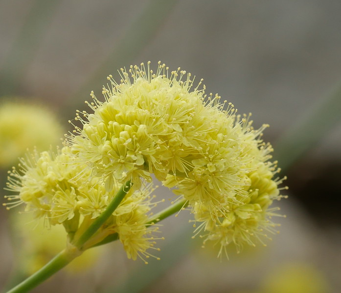 We saw Sulphur buckwheat in several places along Pine Creek Road.