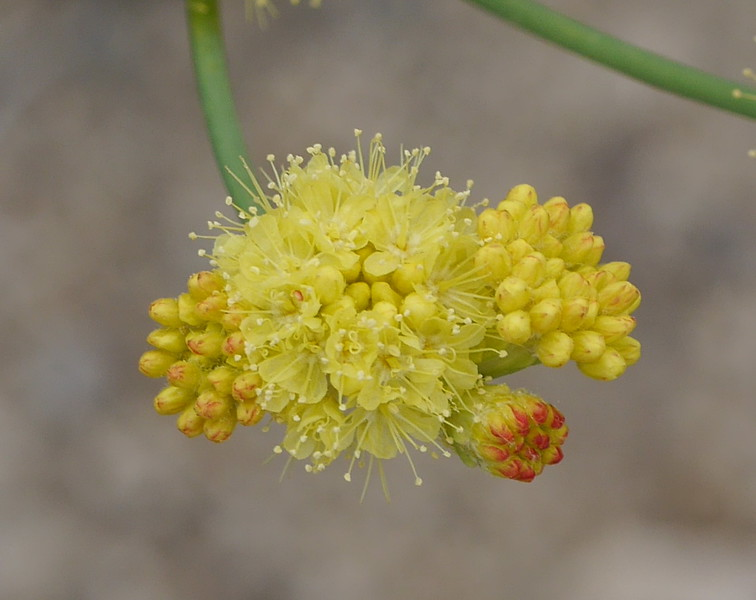 A bit more detail of the buckwheat flowers.