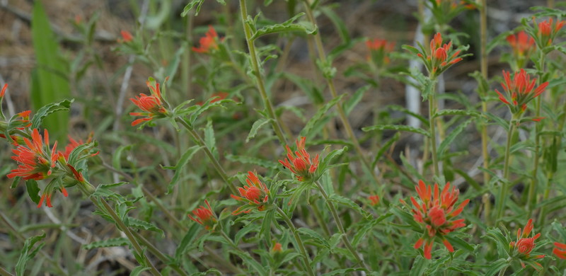 A patch of Indian paintbrush provided some variety.