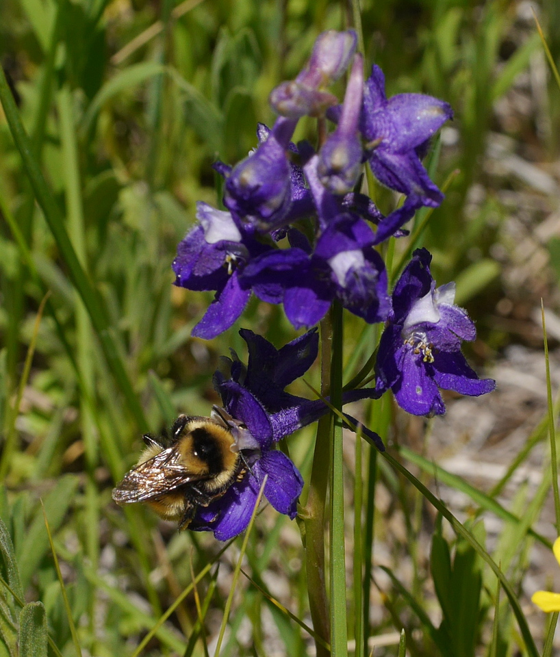 A group of quite deep purple larkspurs was growing along the trail.  With a bee bonus.