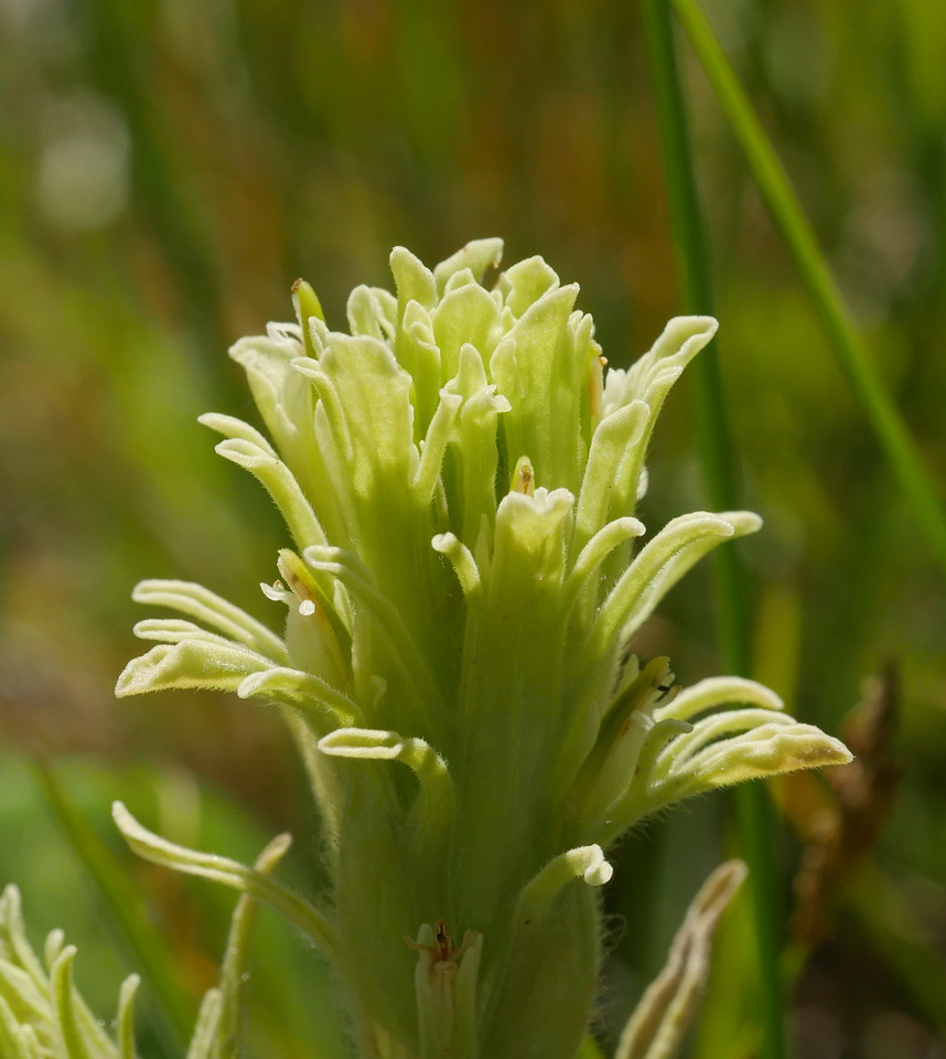 This pale green paintbrush were certainly new for us.