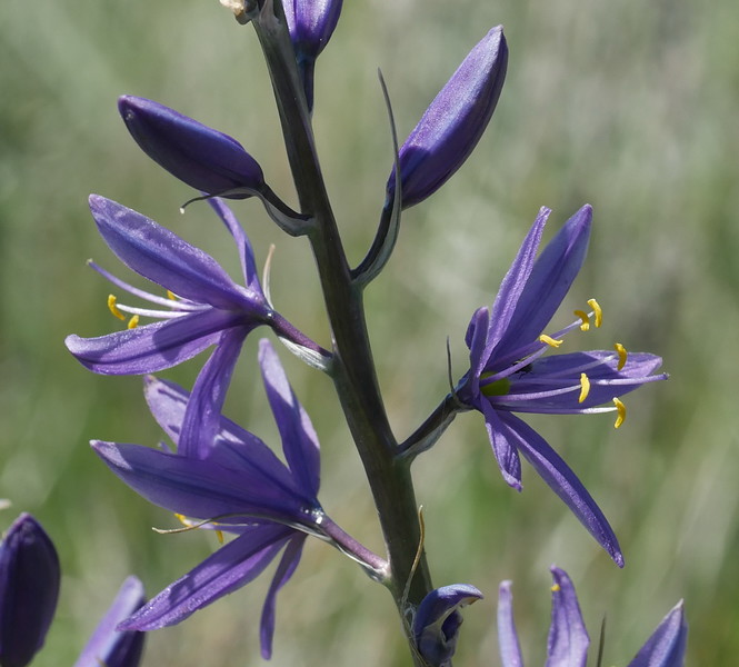 We hoped to see camas in Sierra Valley and we weren't disappointed.