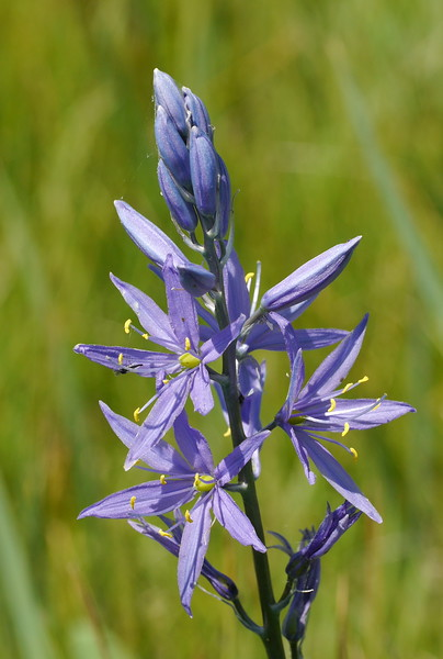 We walked some more and found these light colored camas flowers.